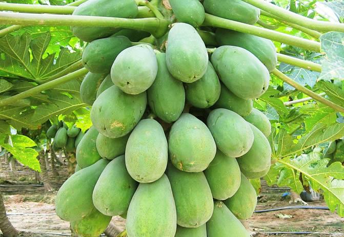 广西番木瓜种植深加工