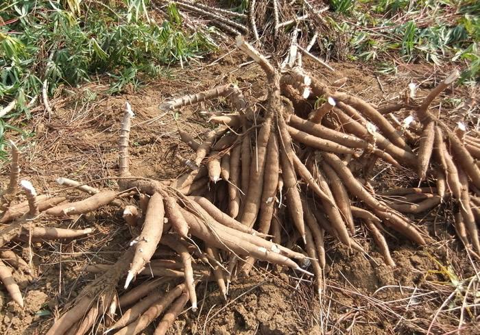 纤维素酶 木薯淀粉加工