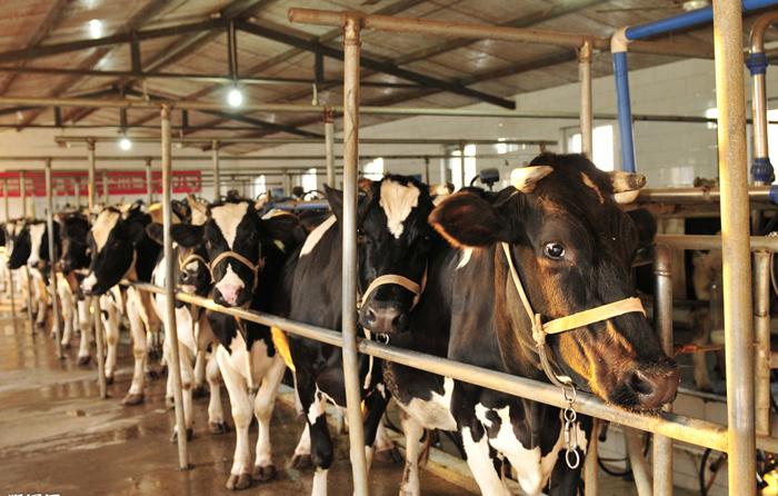 奶牛养殖业