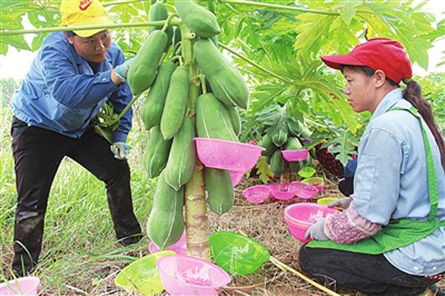 木瓜raybet雷竞技,木瓜酶