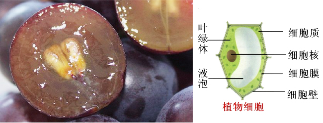果胶酶 纤维素酶破除植物细胞壁