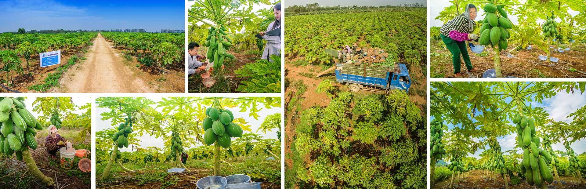 东恒华道木瓜种植基地